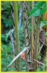 Salak palm thorns
