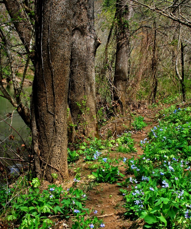 Bluebells lining forest path