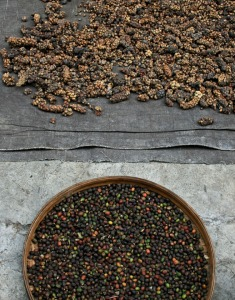 Civet cat poop drying (top). Cleaned coffee beans (bottom)