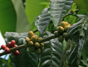 Coffee fruit on tree