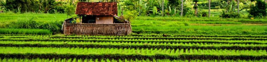 rice field header