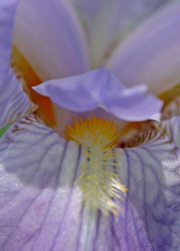lavender iris hide and seek