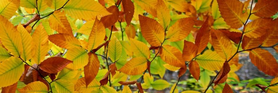 beech leaf heder no 2