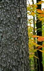 Black cherry tree trunk