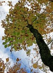 Cucumber Magnolia Tree