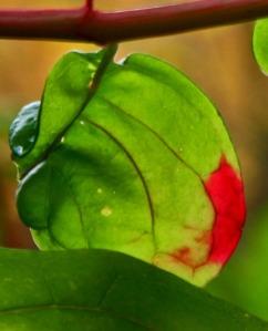 poke leaf reddening