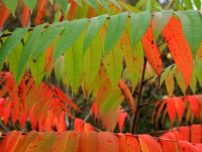 red and green sumac leaves