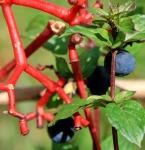 VA creeper berries
