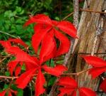 VA creeper leaves