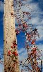 VA creeper vine on telephone pole