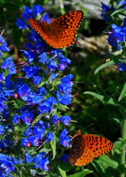 butterflies on viper's bugloss