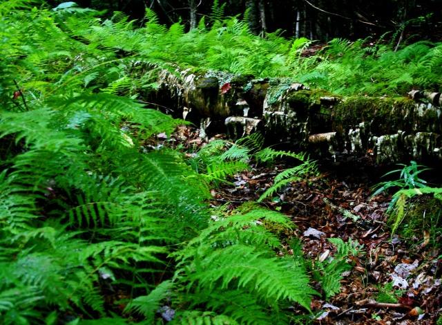 delicate fern