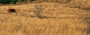 red bush in ungrazed field