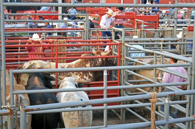 Bulls in their stalls