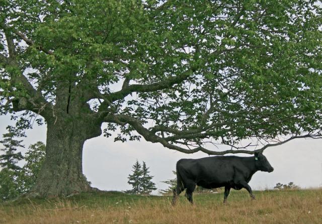 Cow under big tree