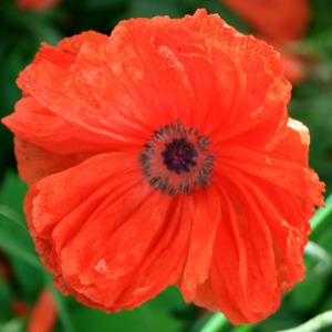 one orange poppy