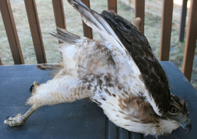 road kill hawk
