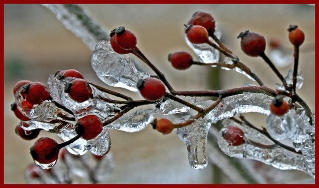 Rosehips on ice