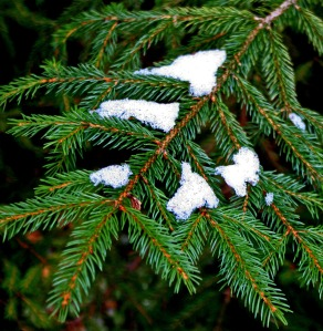 snow on spruce branch