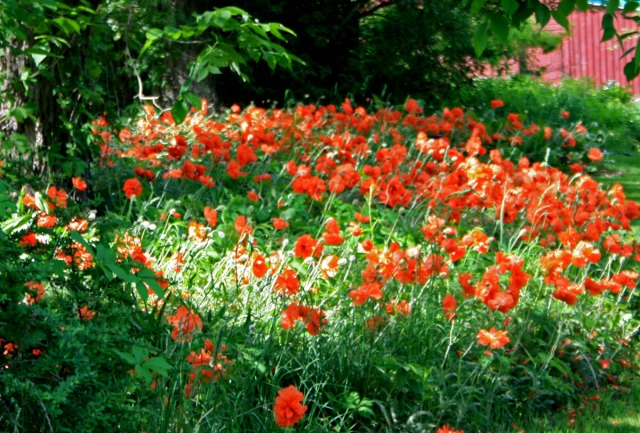 so many orange poppies