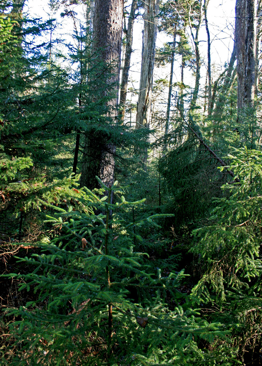 Untouched for Centuries: A Virgin Spruce Forest | The ...