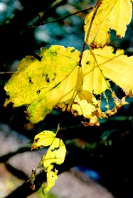 torn yellow fall leaf
