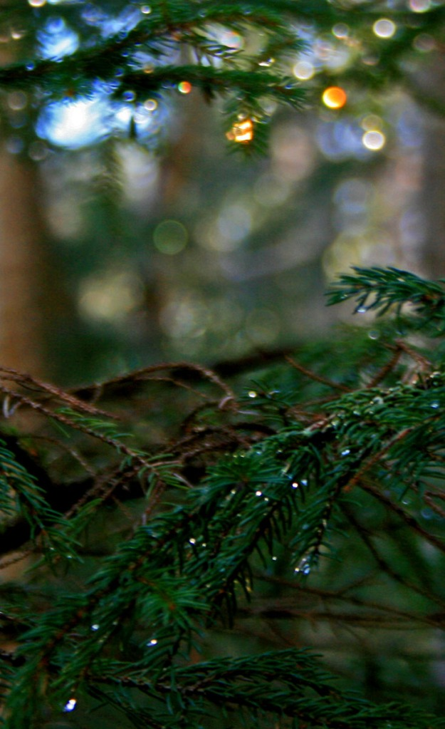 waterdrops on spruce branch