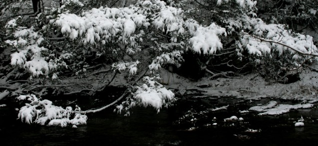 Branches laden with snow
