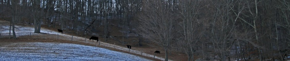 Cows on rolling hills