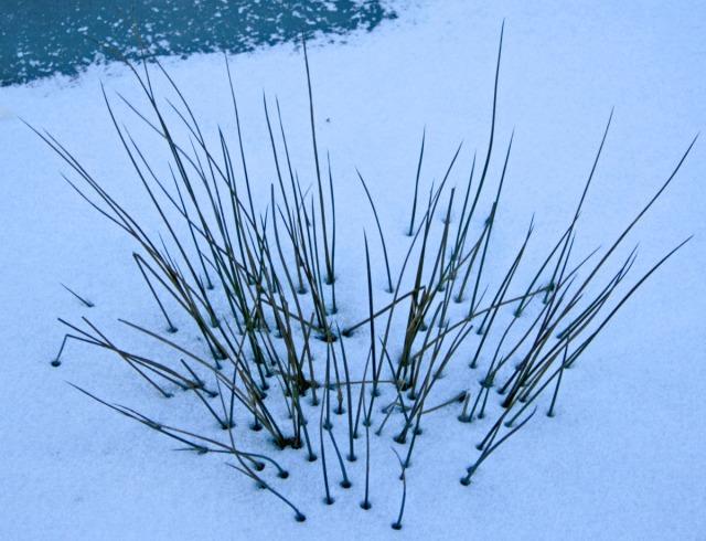 Reeds in frozen pond