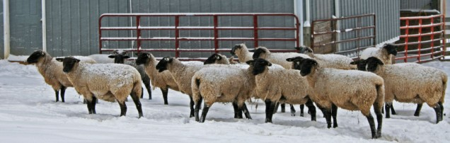sheep in front of blue metal barn
