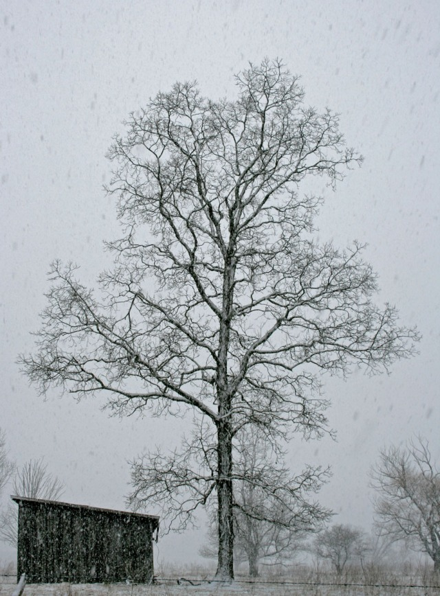 Barn and Tree in Snowstorm