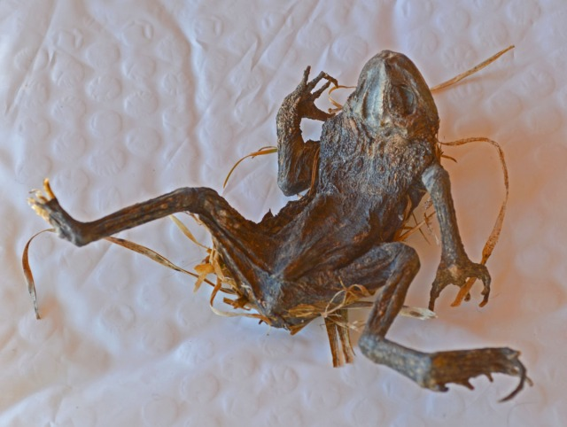 desiccated frog