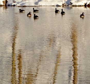 geese and water reflections take 1