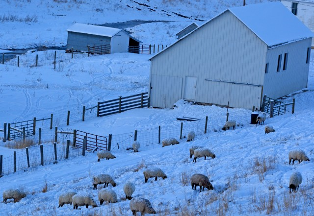 sheep grazing on snowy hill
