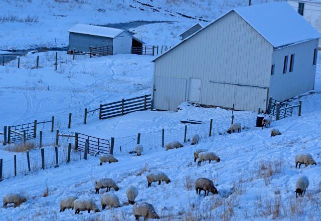 sheep grazing on snowy hill