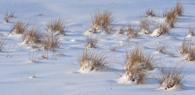 snow covered grass tufts