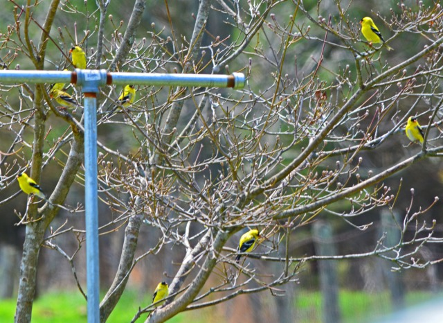 goldfinches in tree