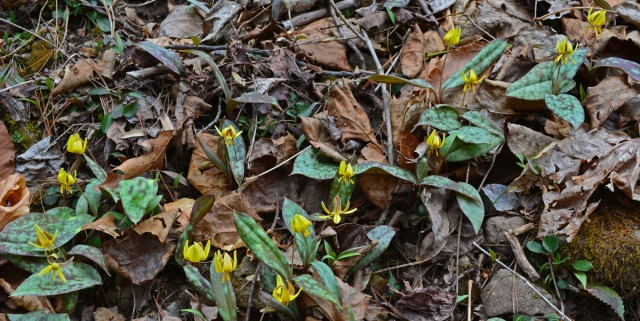 large patch of trout-lilies