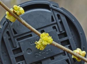 tiny spicebush blossoms