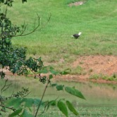 bald eagle by pond