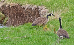 Canada Geese with 3 chicks
