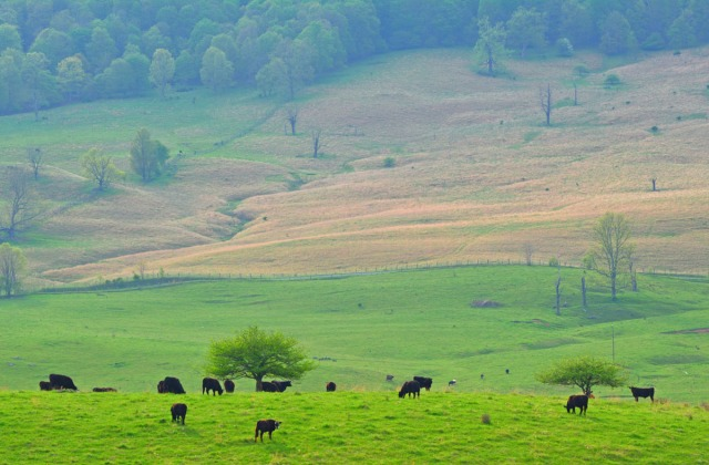 Cows grazing in the Blue Grass Valley