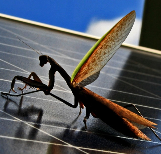 mantis on solarpanel with winglift