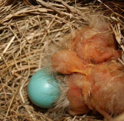 newborn robins with one remaining egg