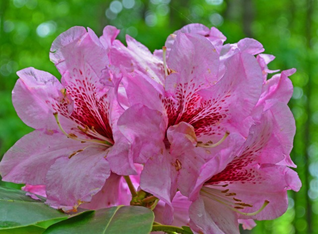 pink rhodo with bloodred streaks
