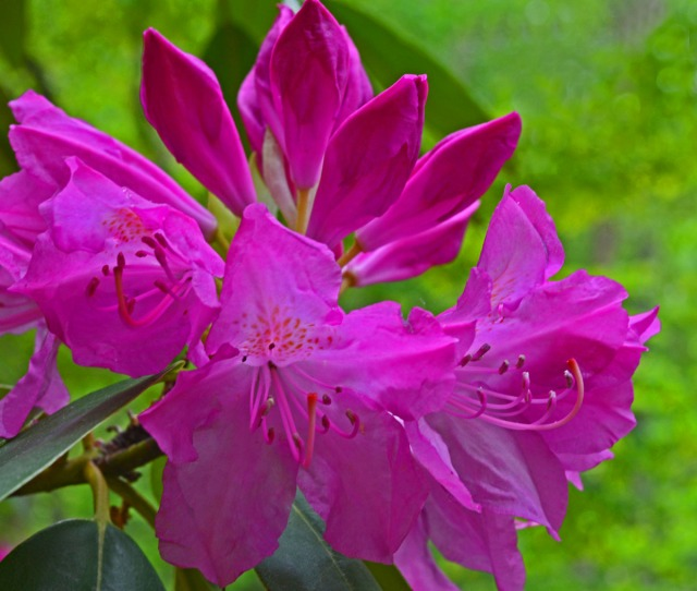 rhododendron with partial full bloom