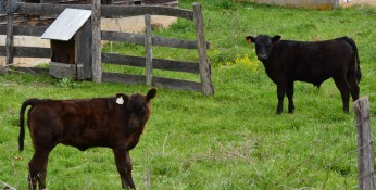 young cattle