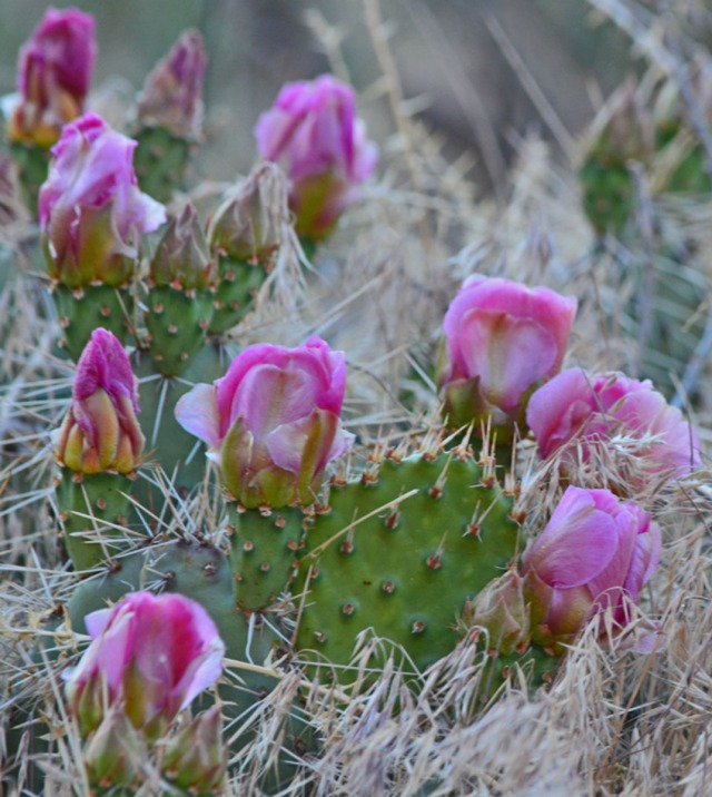 bunch of pink cactus flowers