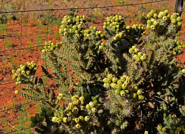 choya bush against fence